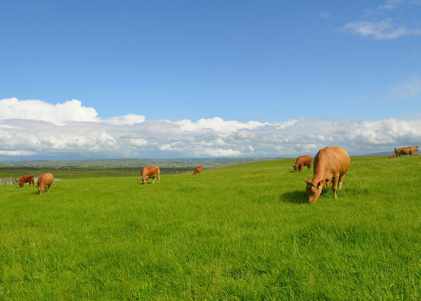 cows in field slider
